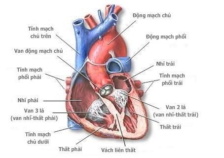 Giải phẫu và sinh lý của tim