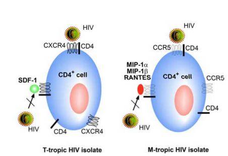CCR5 và CXCR4 vẫn là các đồng thụ thể quan trọng nhất của HIV-1.