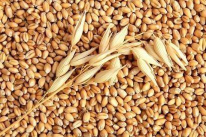 hạt lúa mạch tác dụng làm mát bổ, tăng cân