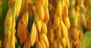 Tác dụng chữa bệnh đáng quý của Hạt Lúa Tẻ