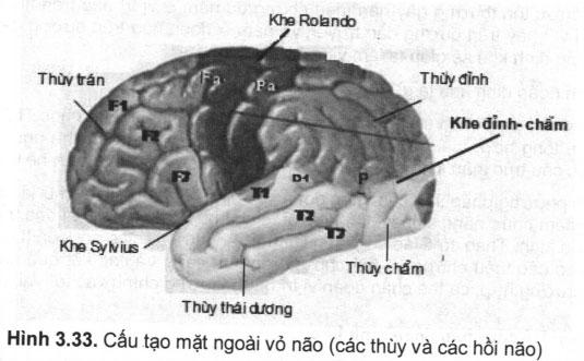 Cấu tạo mặt ngoài vỏ não