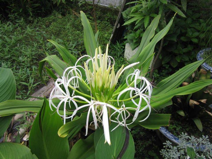 Náng hoa trắng – Tác dụng chữa bệnh của cây Náng hoa trắng