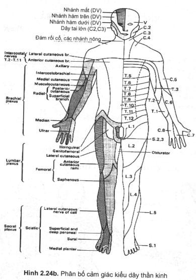 Phân bố các kiểu dây thần kinh