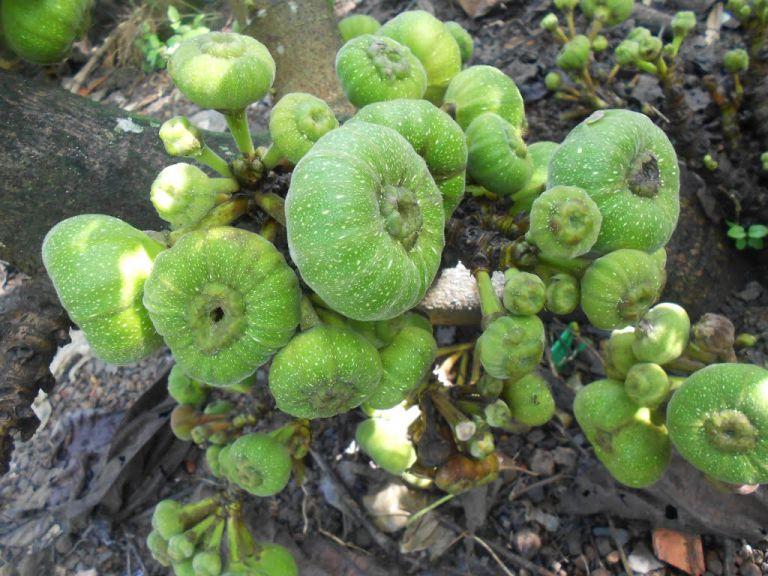 Quả Vả và bài thuốc sử dụng trong điều trị thực tế từ quả vả