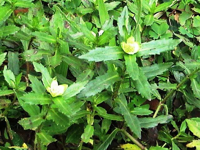 rau ngổ trâu (Enhydra fluctuans Lour.)