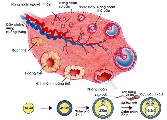 Sự sinh noãn từ noãn nguyên bào cho đến lúc thụ tinh
