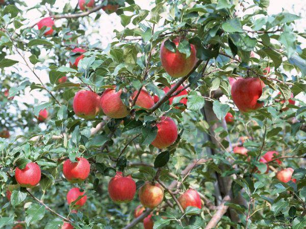 Thuốc chữa bệnh tăng huyết áp từ quả táo mèo