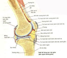 Hình Giải phẫu khớp gối