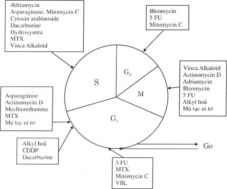 Sơ dồ 1: Thuốc hoấ chất tác dộng theo các pha của chu kỷ tế bào.