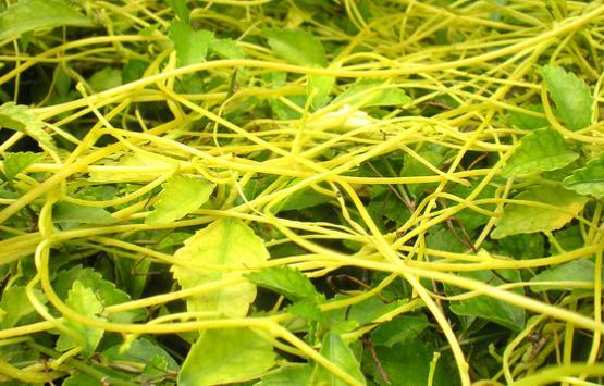 Tơ hồng vàng – Cách dùng, tác dụng chữa bệnh tơ hồng vàng