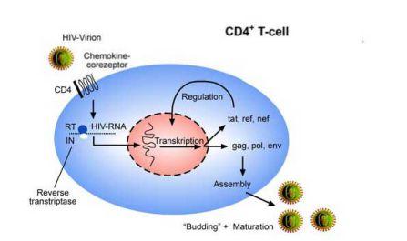 Vòng đời của HIV.