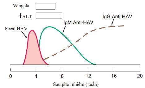 Biểu hiện lâm sàng và xét nghiệm của HAV