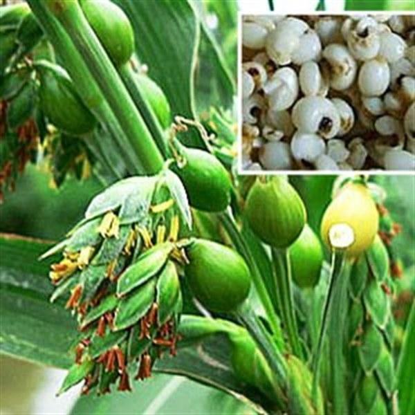 Bài thuốc chữa bệnh từ hạt Ý dĩ – hạt bo bo